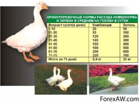 Сколько в среднем весит домашний гусь, процентный выход мяса с тушки