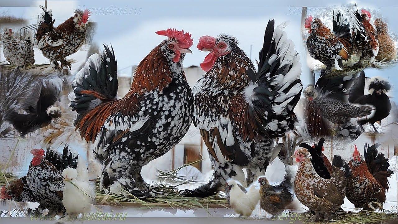 Алтайская Бентамка порода кур – описание с фото и видео