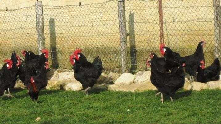 Барбезье порода кур – описание, фото и видео