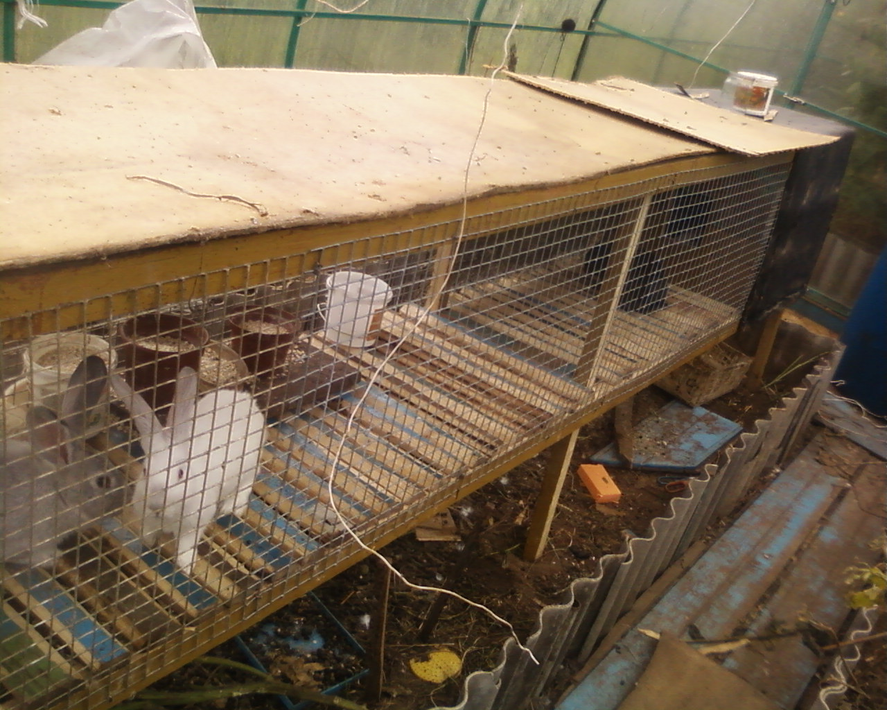 Кролики и куры – совместное содержание возможно?