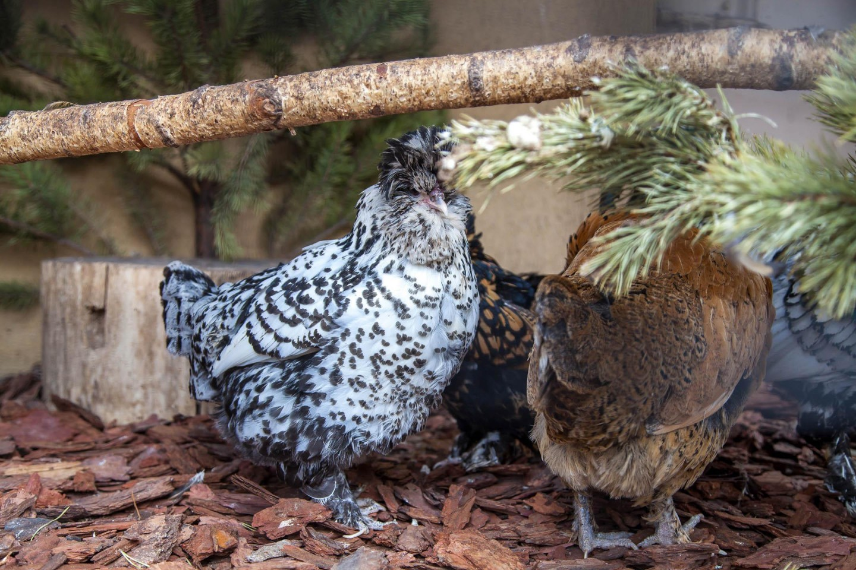 Гедемора - мясо-яичная порода кур. Описание, характеристика, содержание, разведение, инкубация
