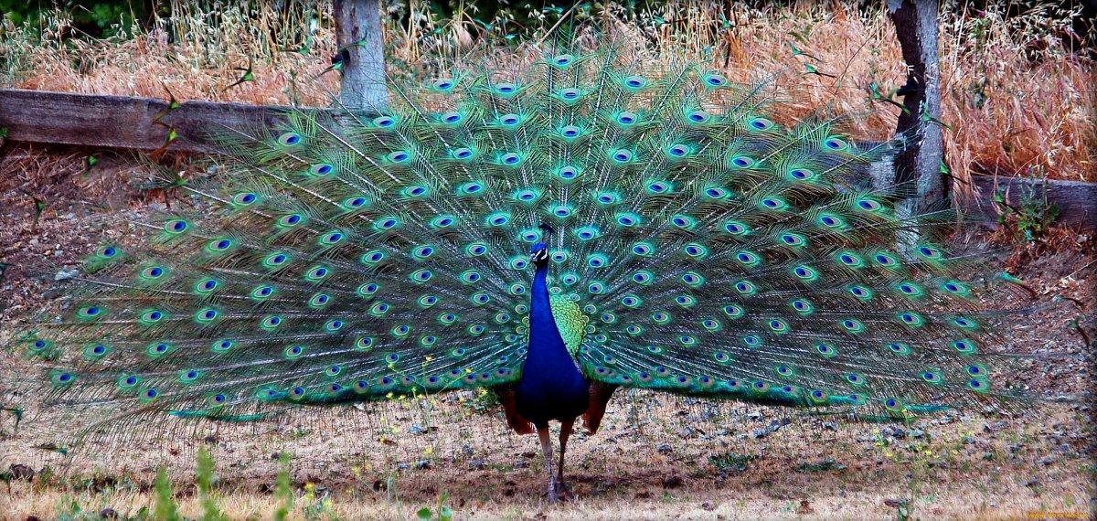 Павлиньи фазаны – фото, особенности этих птиц, правила разведения