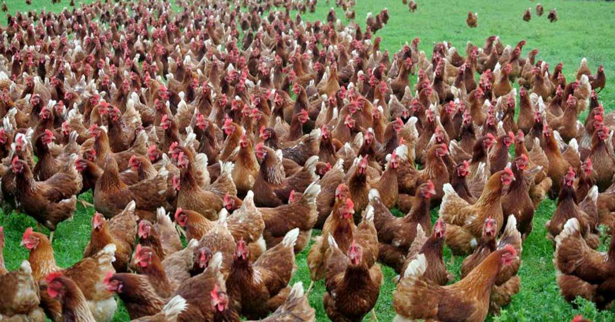 Хайсекс Браун - яичный кросс кур. Описание, характеристики, особенности выращивания и кормления