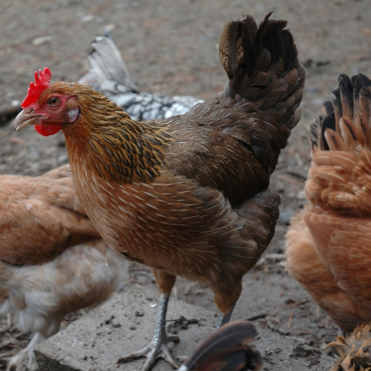 Пенедесенка порода кур – описание с фото и видео