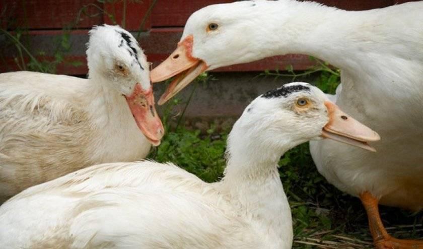 Каннибализм у уток мулардов – что делать и как спасти птиц