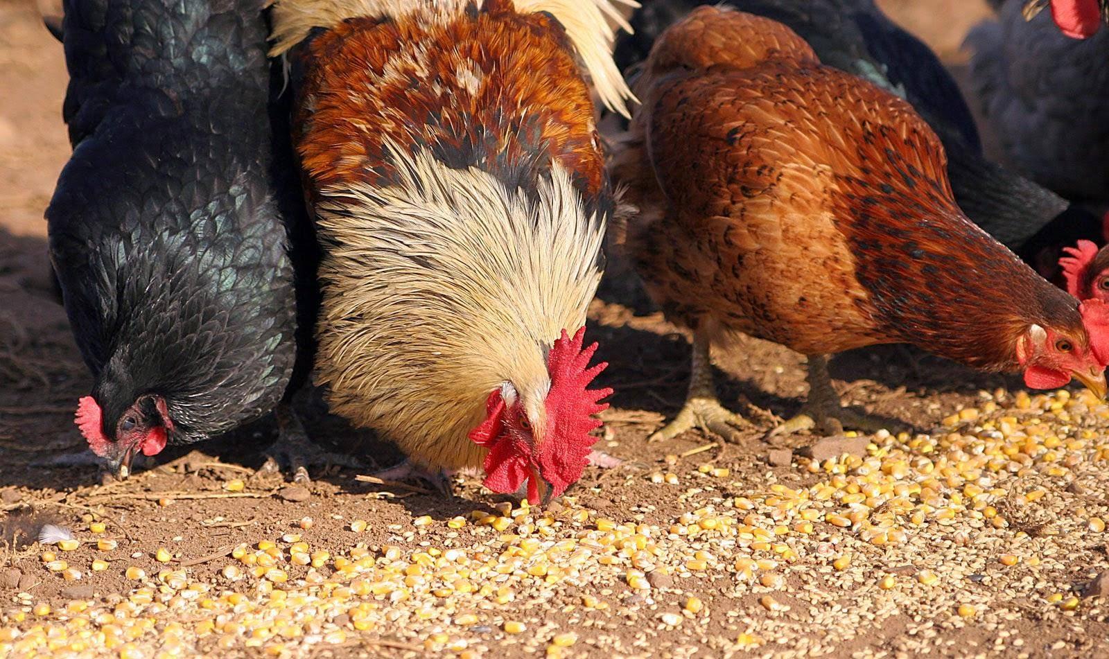 Как выбрать петуха для кур-несушек?