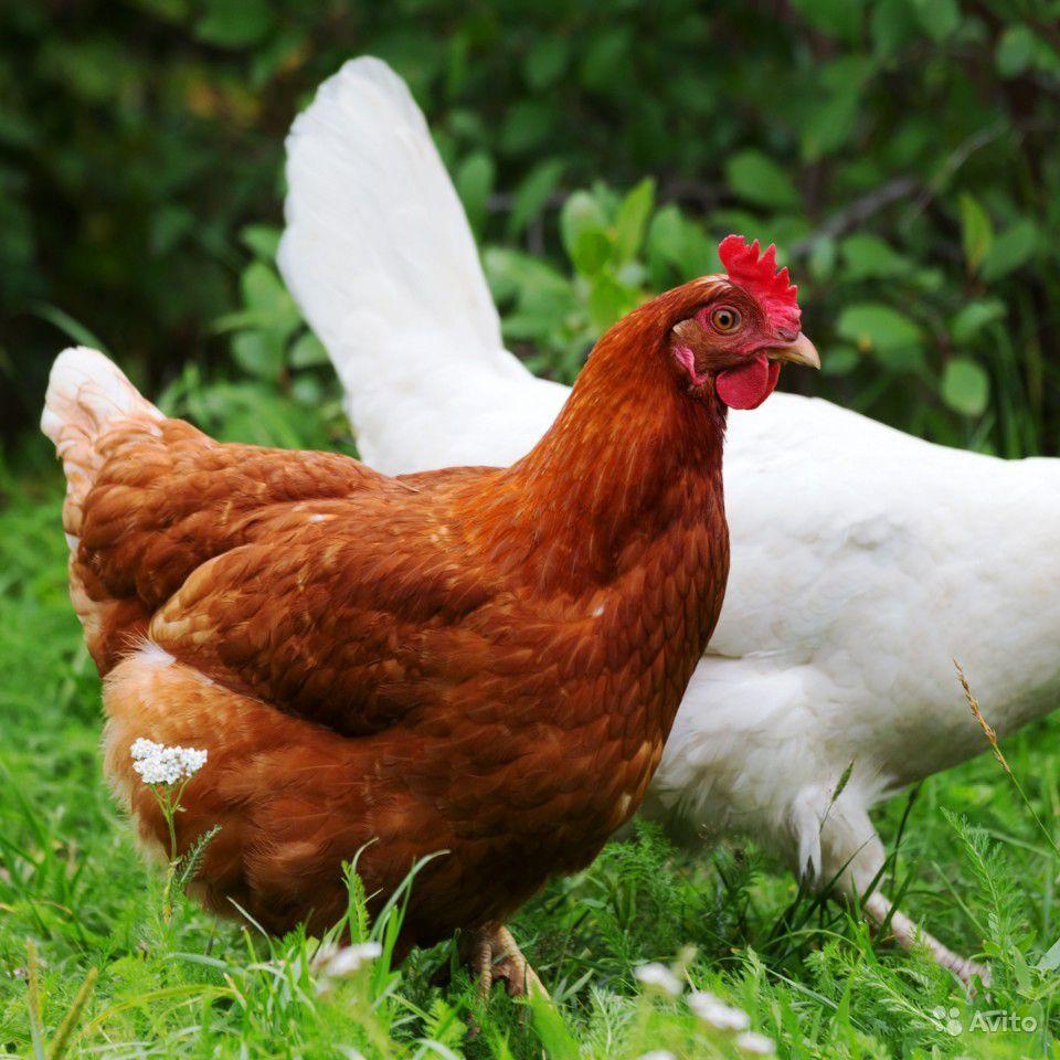 Особенности содержания кур породы Ломан Браун