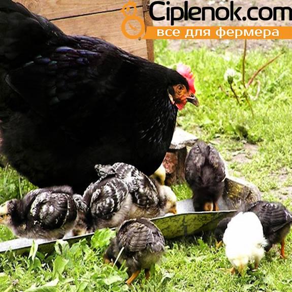Отечественная мясо-яичная Московская черная порода кур и ее достоинства