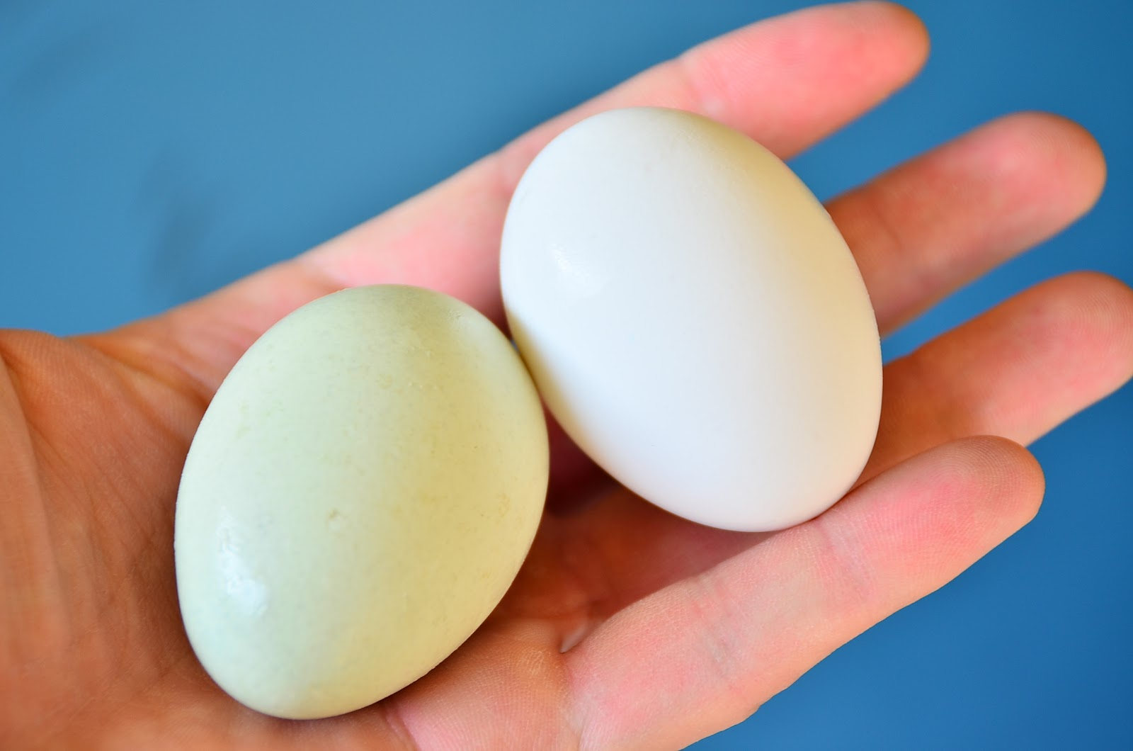 Яйца с зелеными желтками