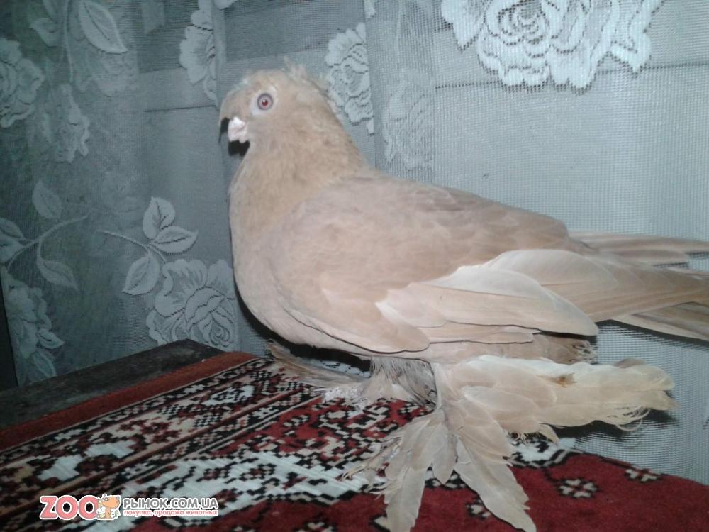 Узбекская бойная порода голубей – характеристики, условия содержания