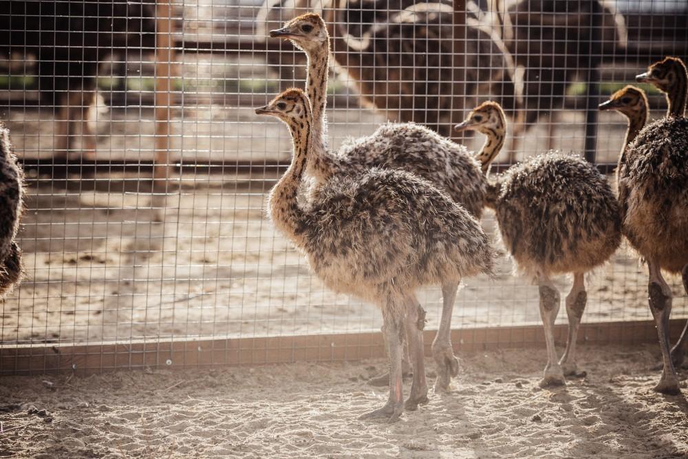 Страус нанду – содержание и разведение птиц в неволе, описание внешнего вида