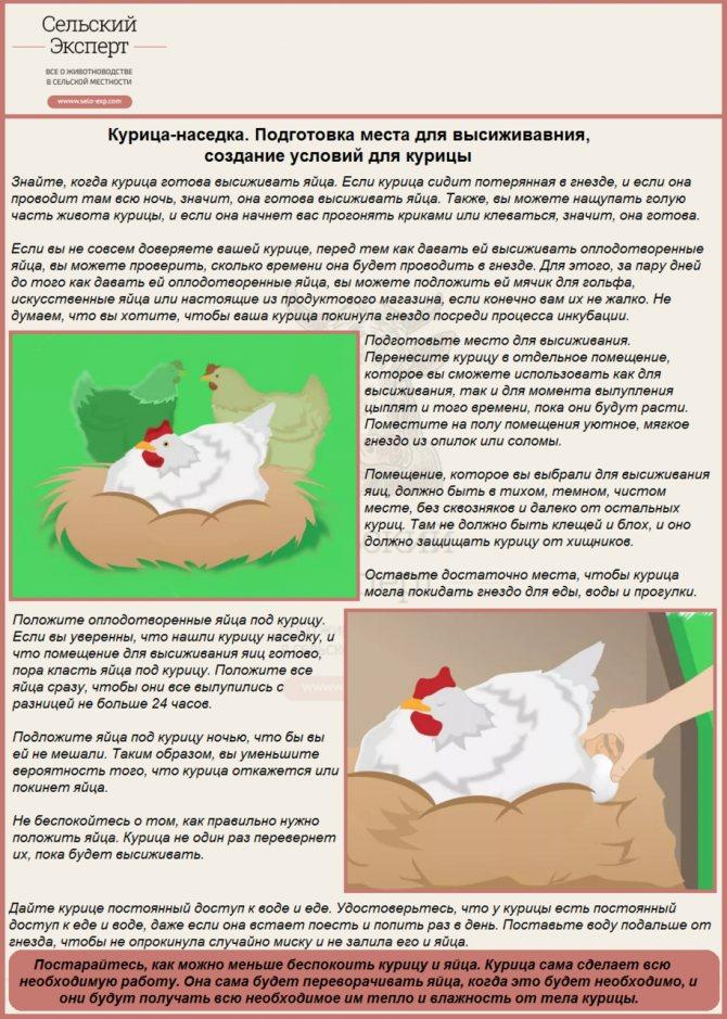 Сколько дней курица высиживает яйца и как отучить ее от этого
