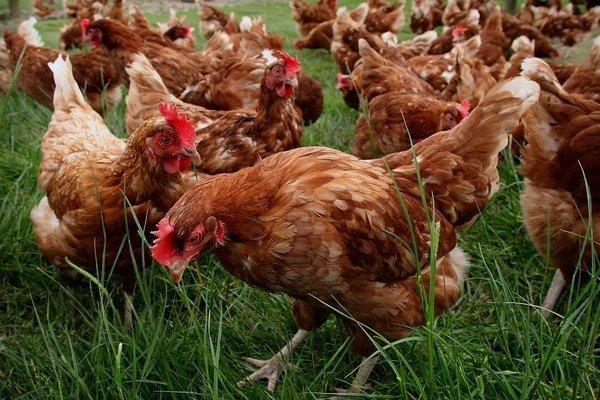 Хай Лайн порода кур – описание, фото и видео