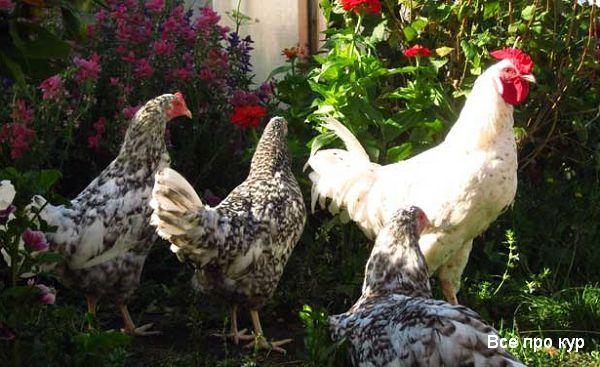 Пушкинская порода кур – описание, фото и видео