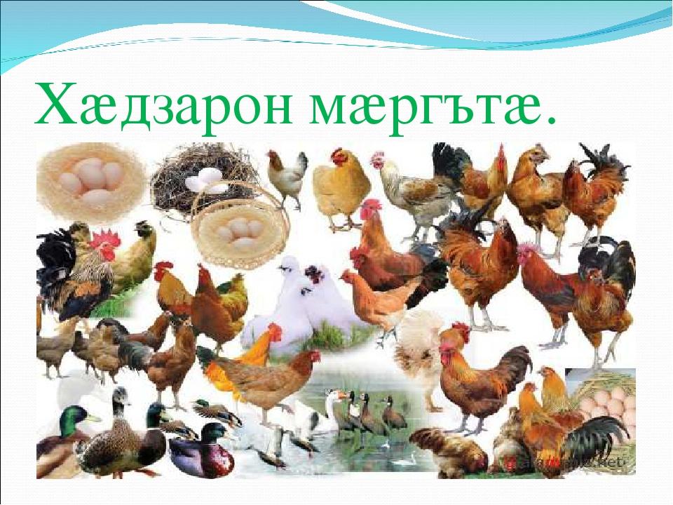 Домашние птицы — виды и группы, фото и видео