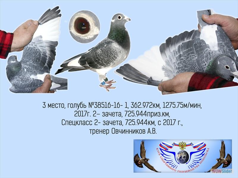 Бельгийский почтовый голубь – описание характеристик и летных качеств