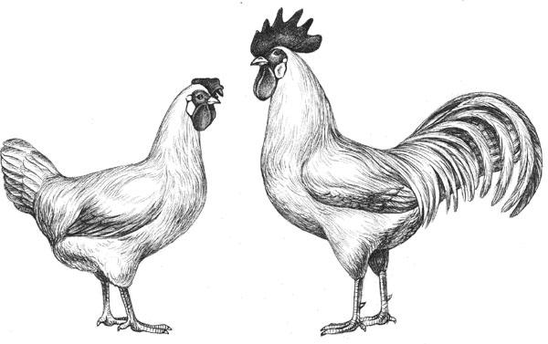 Описание вида и содержание породы кур Мехеленская кукушка