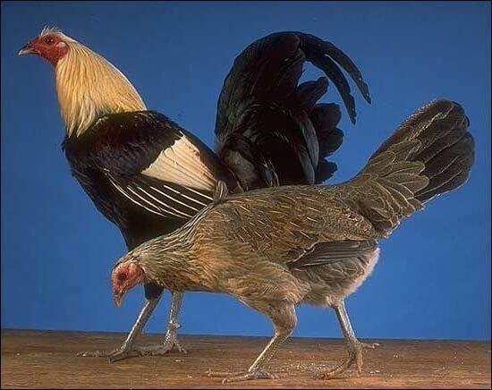 Американская бойцовая порода кур. Описание, разведение и содержание, кормление, инкубация, отзывы