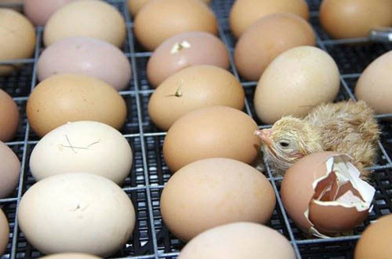 Как вырастить цыпленка из яйца в домашних условиях без инкубатора? Советы для начинающих, уход и кормление