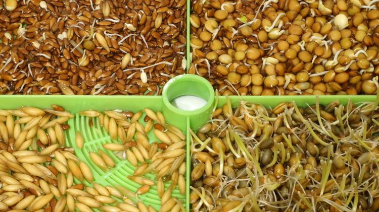Проращивание семян в банке для куриного лакомства