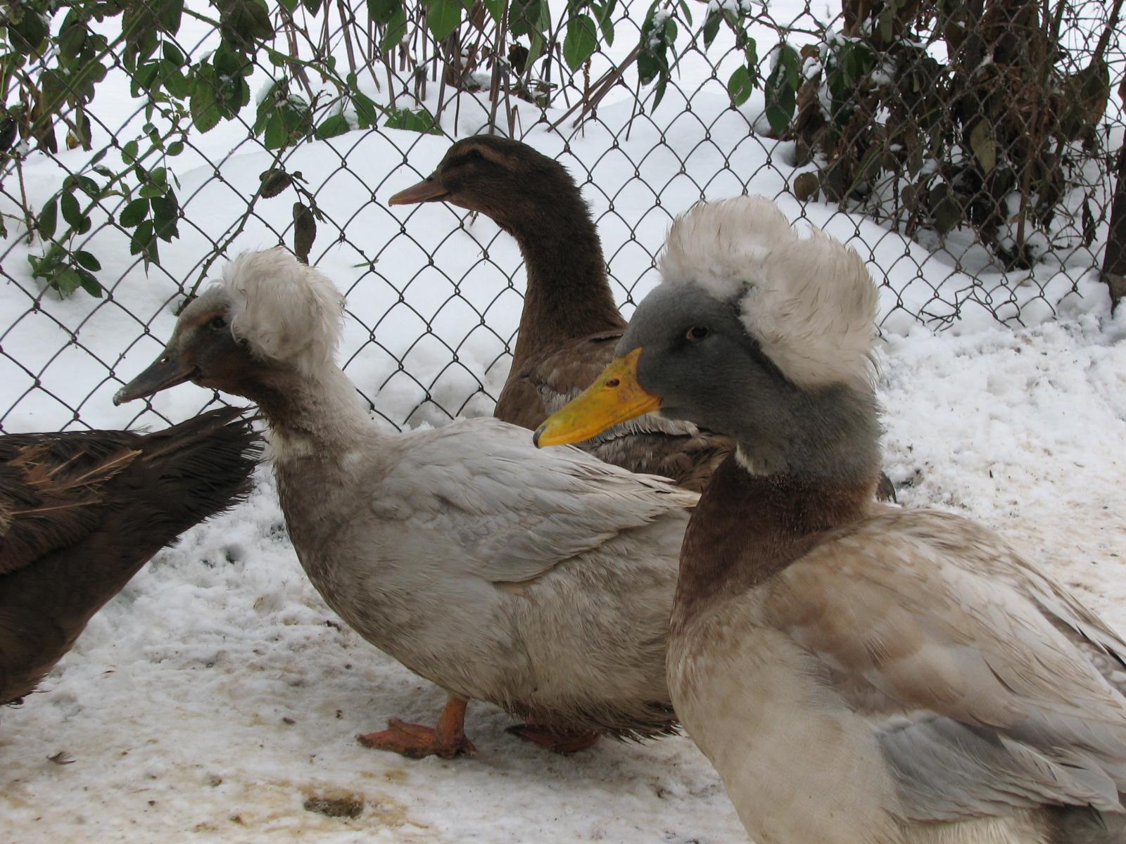 Хохлатые утки: обзор пород