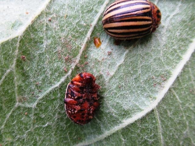Способы борьбы с колорадским жуком