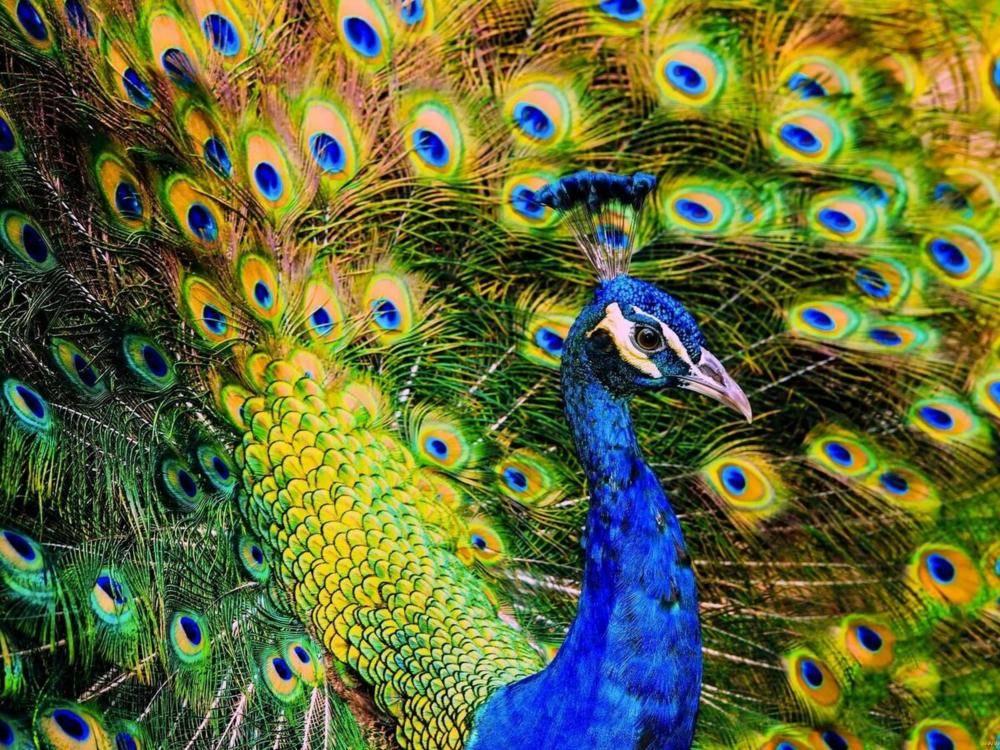 Породы и виды самой красивой в мире птицы павлина