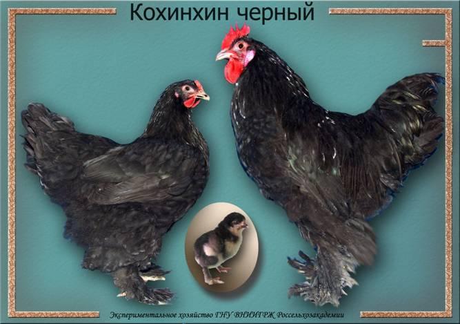 Кампинская - яичная порода кур. Описание, характеристики, разведение и выращивание, кормление, инкубация