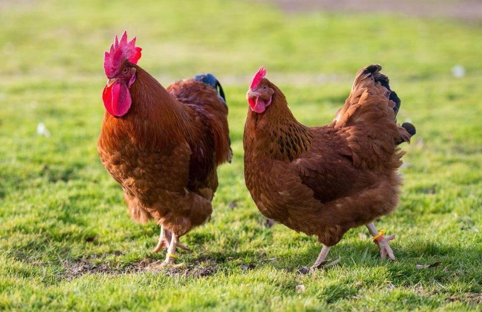 У какой породы кур самое вкусное мясо курицы? Описание с фото.