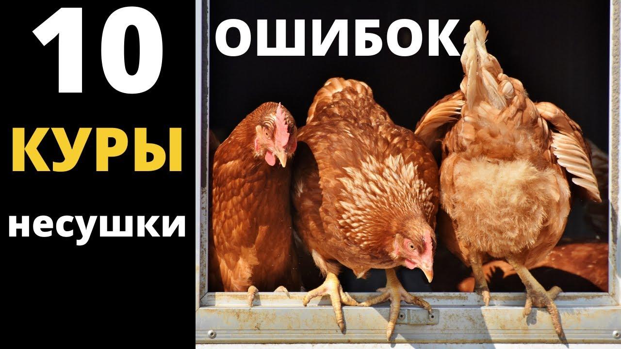 5 ошибок в кормлении кур, которых следует избегать