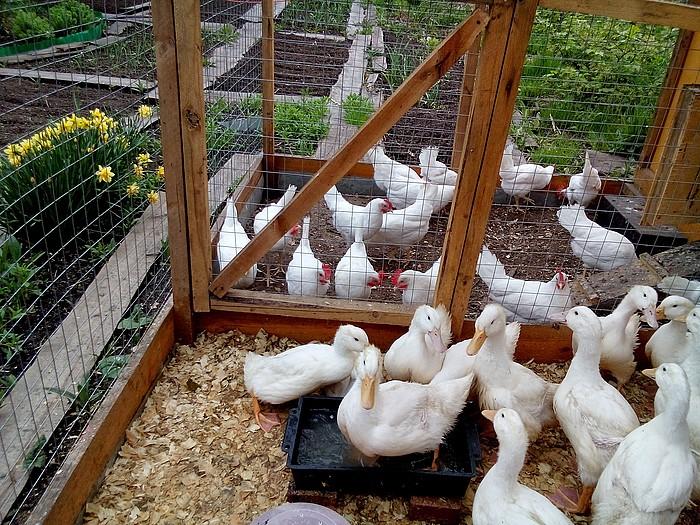Личный опыт содержания и выращивания гусей