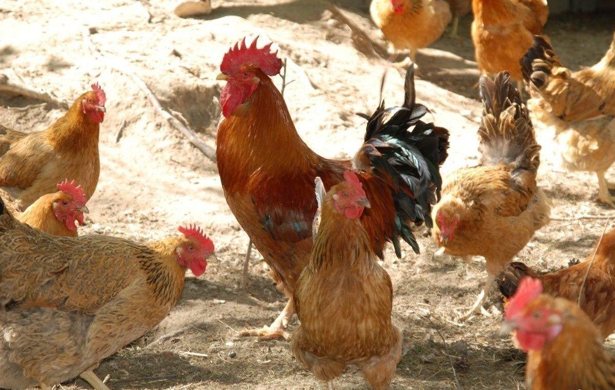 Царскосельская - мясо-яичная порода кур. Описание, содержание и разведение, кормление, инкубация
