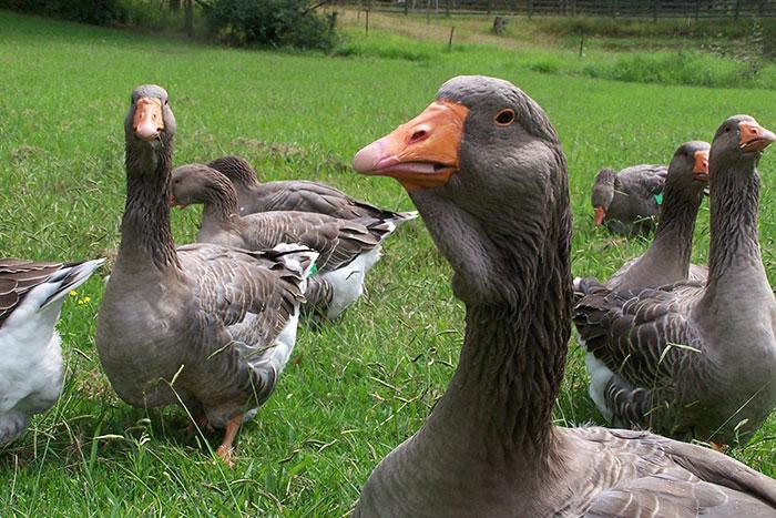 Венгерские гуси – какими продуктивными качествами обладают