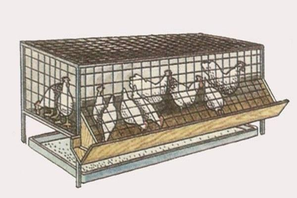 Способ выращивания бройлеров в клетках – преимущества способа