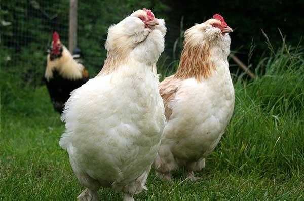 Фавероль порода кур – описание, фото и видео