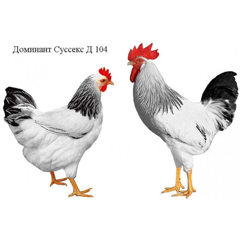 Куры Доминант Суссекс Д 104 фото и описание, отзывы