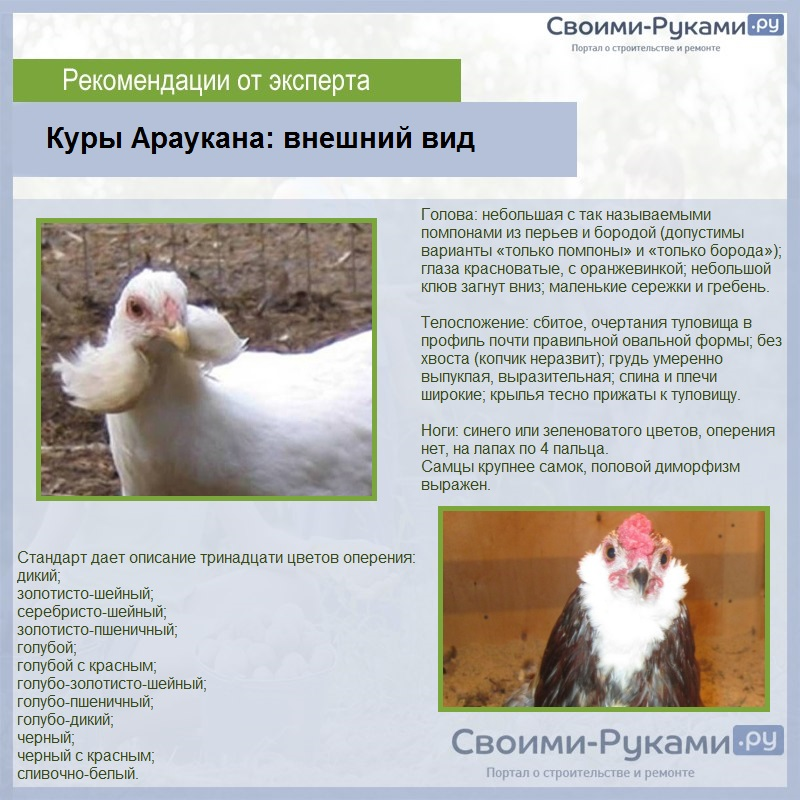 Самый лучшие яйценоские породы кур