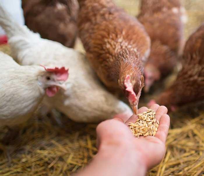 Кормление кур опарышами и способы их вырастить