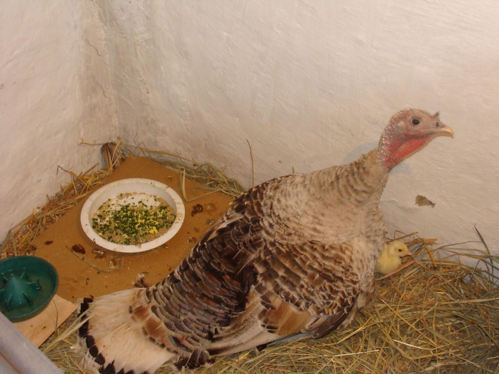 Как приучить индейку садиться на яйца