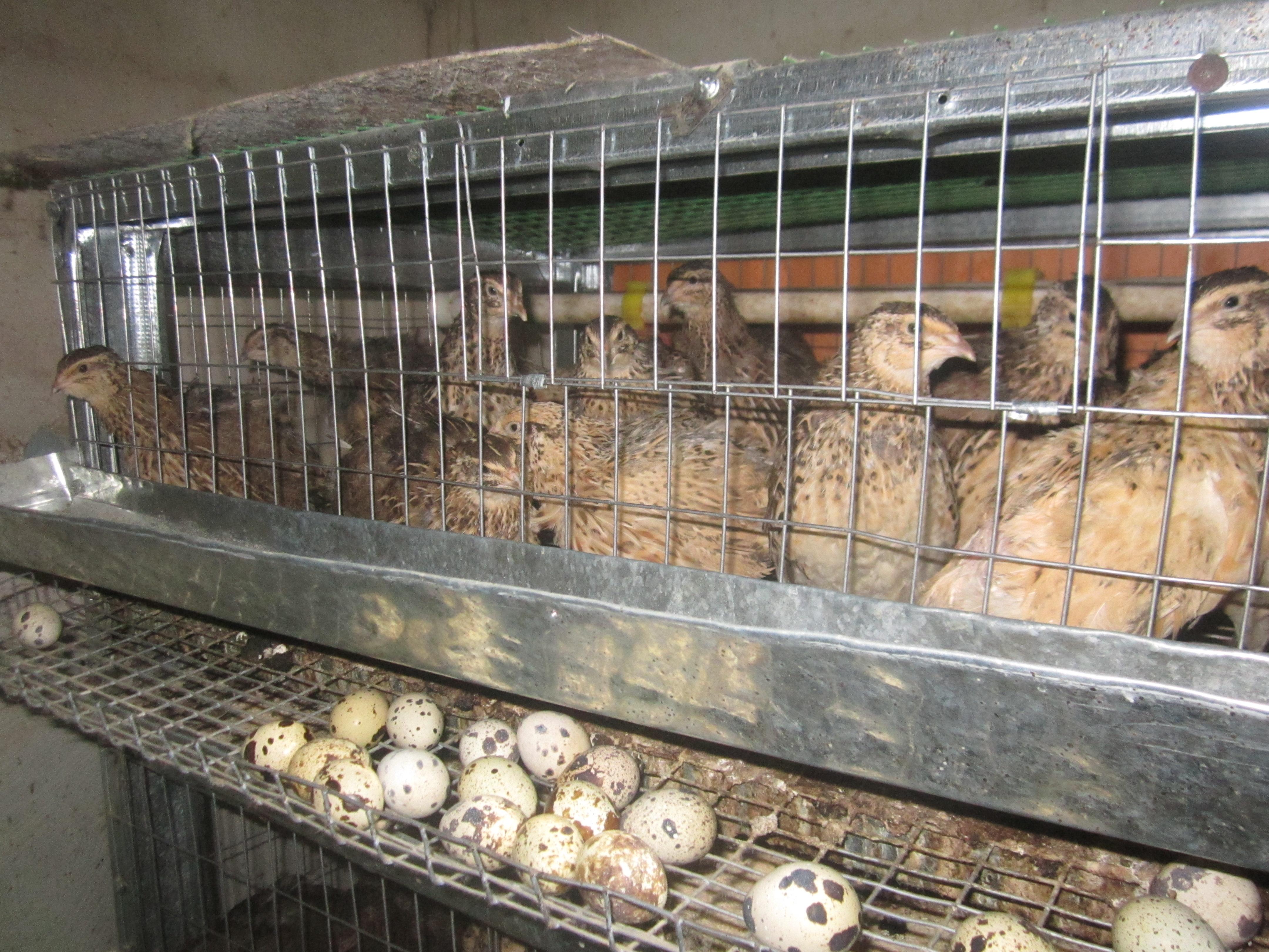 Разведение и инкубация перепелов в домашних условия для начинающих