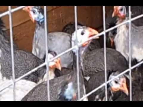 Выведение цесарят под курицей, индюшкой и цесаркой