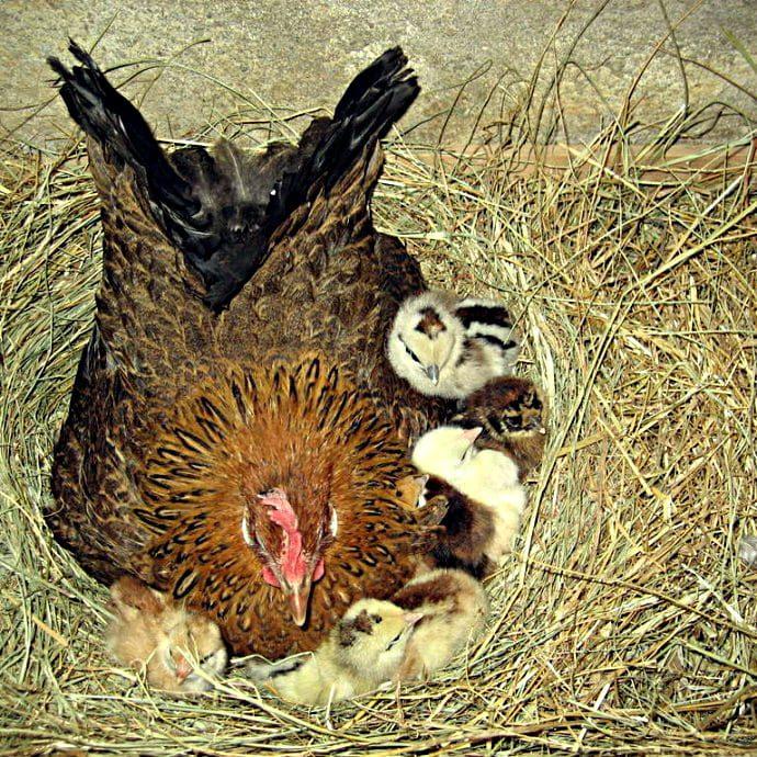 Мужчина-наседка – молодой француз высиживает яйца кур