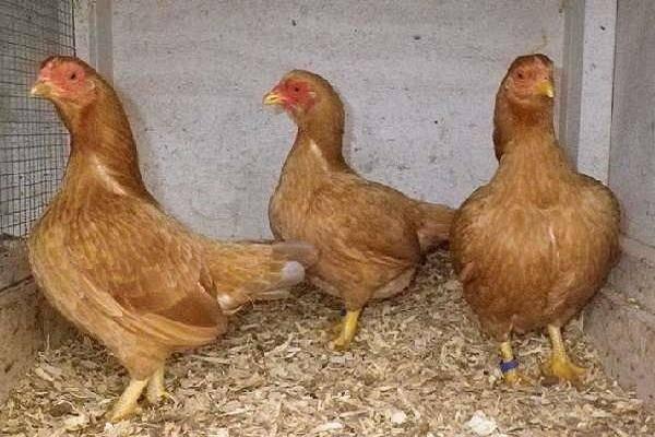 Корниш порода кур – описание бройлера, фото и видео