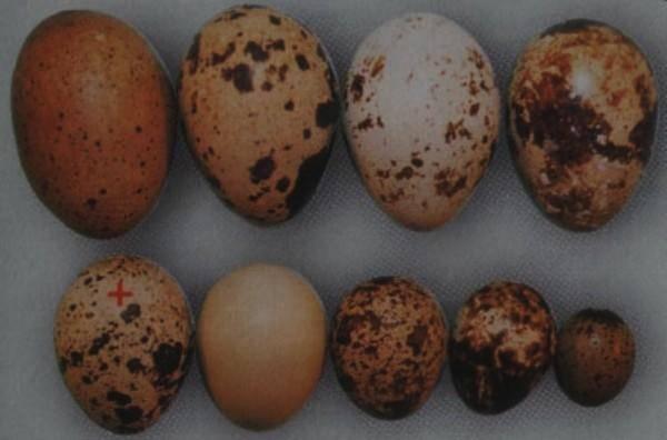 Перепелки не несутся: причины и методы увеличения яйценоскости