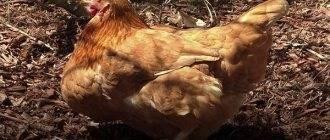 Тепловой удар у кур – что делать, если курица перегрелась?
