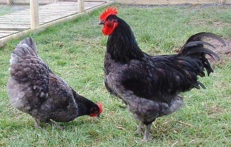 Доминант порода кур – описание, фото и видео