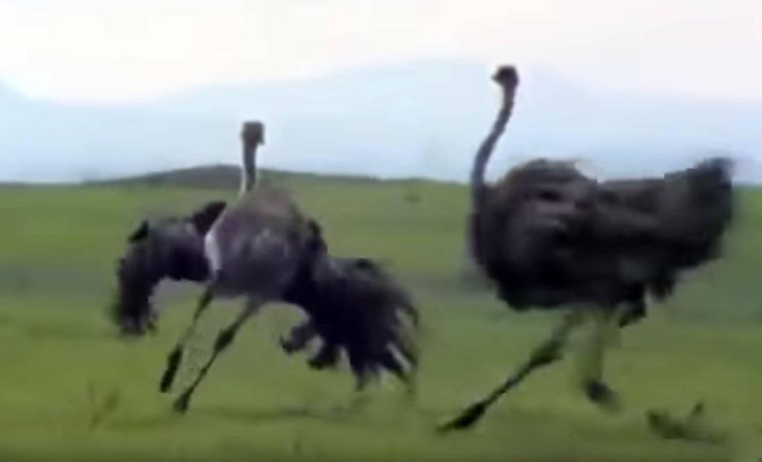 Какая может быть скорость страуса в опасности и спокойствии