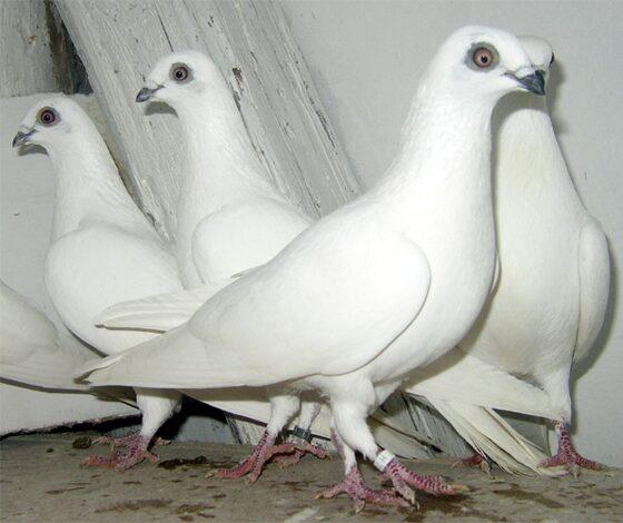 Венгры, или венгерские высоколетные голуби – характеристики породы, содержание