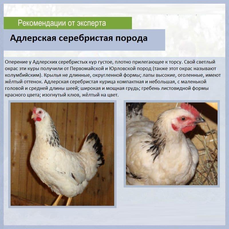 Характеристики лучших пород куриц, несущих яйца