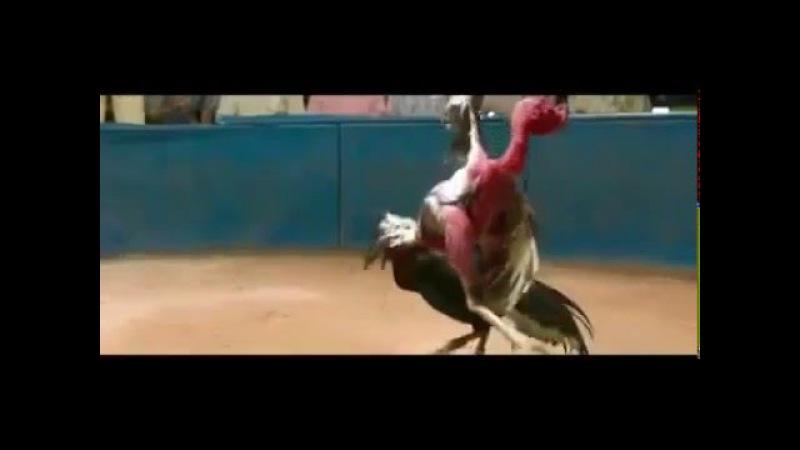 Рекорды куриц и петухов – 6 интересных случаев